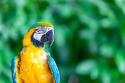 a long-tailed macaw parrot with colorful feathers. Macaw bird close up.Blue-yellow macaw parrot portrait. has a background of nature Soft focus with blurred background.