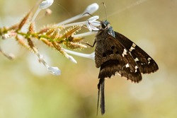 A Long-tailed Skipper feeding from a wildflower at the National Butterfly Center.