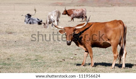 A longhorn bull in a pasture, grazing, standing
