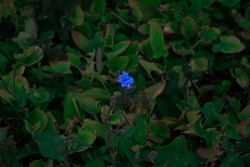 A lonley blue flower with the green