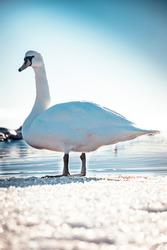 A lonley swan in Norway