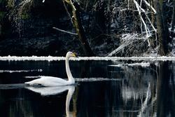 A lonley Whooper swan in winter landscape