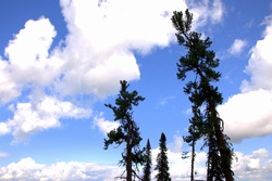 A look at the clouds in the sky through the tops of tall pines. Altai, Siberia, Altai.