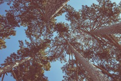 A look-up view of pine trees with a clear blue sky background