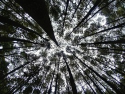 A lookup from pineforest in Bogor.