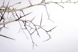 a lot of acacia branches with thorns isolated on white background. concept thorny wreath. danger
