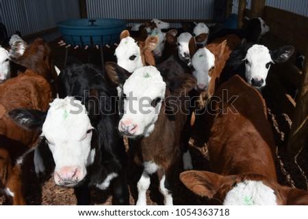 A lot of beautiful calves