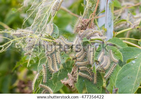 A lot of caterpillars and they eat the leaves of the plant, background, image, banner