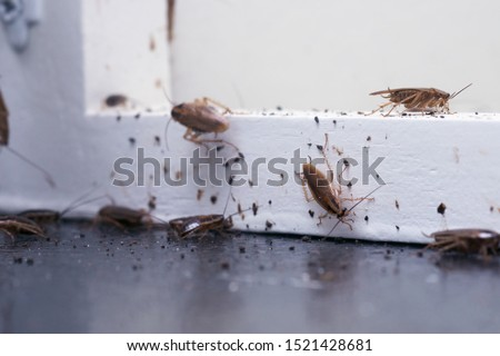 A lot of cockroaches are sitting on a white wooden shelf.The German cockroach (Blattella germanica). Common household cockroaches