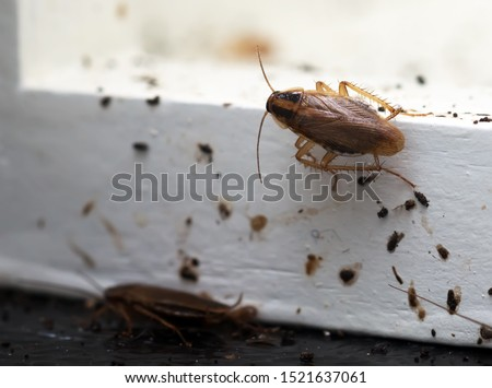 A lot of cockroaches are sitting on a white wooden shelf.The German cockroach (Blattella germanica). Cockroach Infestation Foto d'archivio ©