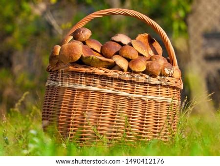 A lot of edible mushroom (boletus edulis bull, borowik szlachetny, prawy, prawdziwek) in wicker basket. Mushroom picking in polish forest. Zdjęcia stock ©