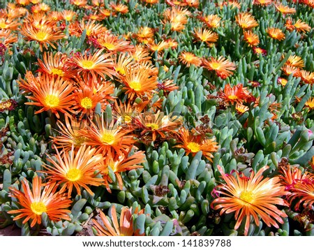 A lot of Flowers of a Succulent Plant in the Desert