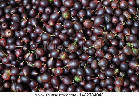 a lot of freshly harvested ripe red gooseberries #1462784048