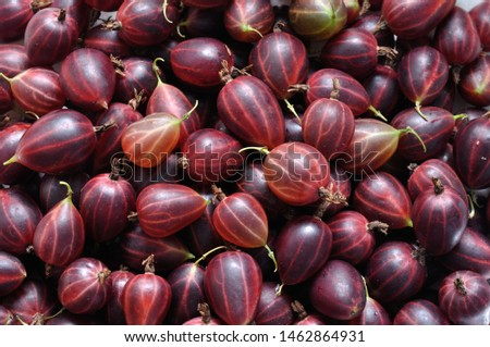 a lot of freshly harvested ripe red gooseberries