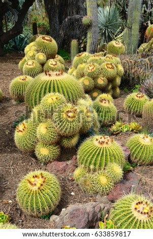A lot of Golden Barrel Cactus, Echinocactus grusonii.