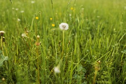 A lot of green grass grows in the meadow. There is one white fluffy dandelion and many yellow buds. Horizontal frame