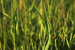 a lot of green grass in the field and a small red bug on a leaf. ladybug at sunset