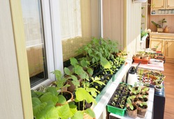 A lot of green seedlings of vegetables and flowers grow on the balcony. Sprouts of tomato, cucumbers, zucchini and herbs are in seedling pots on window sills on the loggia. Spring garden work