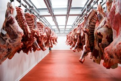 A lot of half cow chunks fresh hung and arranged in a row in a large fridge in the fridge meat industry. Horizontal view.
