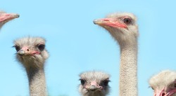 A lot of ostriches on a blue background copy space. Ostrich head. Wild birds natural pattern for design.