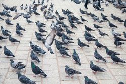 A lot of pigeons birds on the street.
