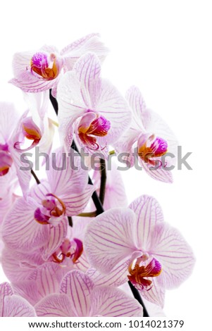 A lot of pink flowers of phalaenopsis isolated on white background