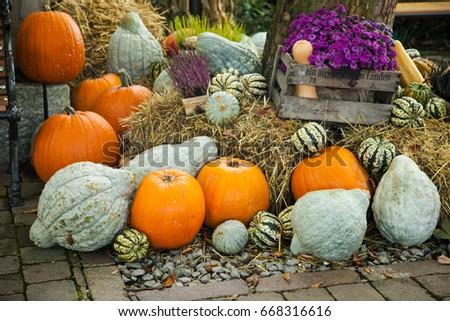 A lot of pumpkins on Halloween, seasonal autumn decorative backg #668316616