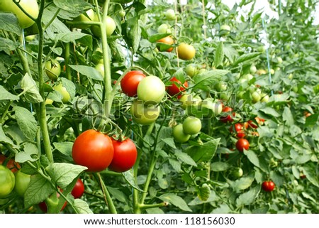 A lot of red tomatoes ripening in the greenhouse - stock photo