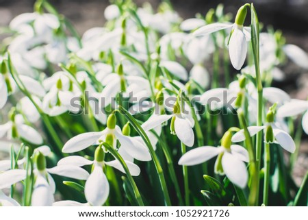A lot of snowdrops growing in the forest in spring #1052921726