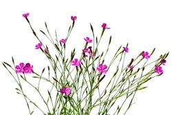 A lot of stalks of wild meadow carnation with bright purple flowers and green buds, isolated on a white background. Pale pink wildflowers of growing dianthus pratensis, close-up