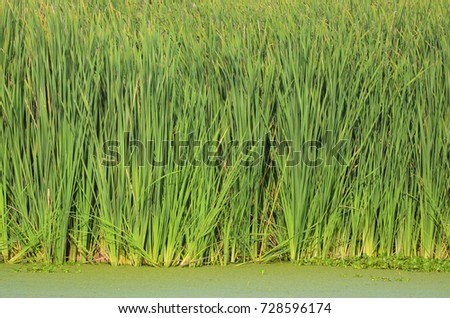 A lot of stems from green reeds. Unmatched reeds with long stems #728596174