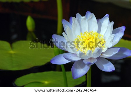A lotus is blooming in a lotus and water lily garden in Rajamangala University of Technology Thunyaburi located in Pathumthani province,Thailand.