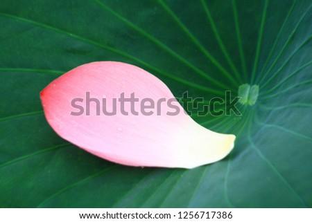 A lotus leaf and petal #1256717386