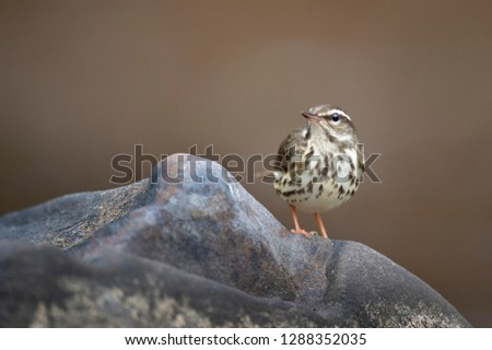 A Louisiana Waterthrush stands on a large smooth rock with a smooth brown background in soft overcast light.