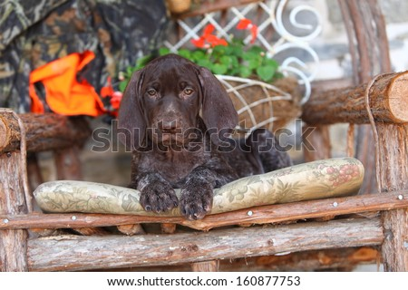 A lovable, floppy eared German Short Haired Pointer pup sits on a wooden chair with some hunting safety orange and camouflage.