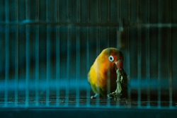 A Lovebird (Agapornis) parrot sitting in the dark cage
