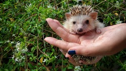A lovely african pygmy hedgehog looking camera on owner hand.
