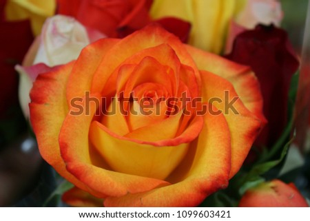 A lovely bi colored orange and yellow rose in bloom. #1099603421