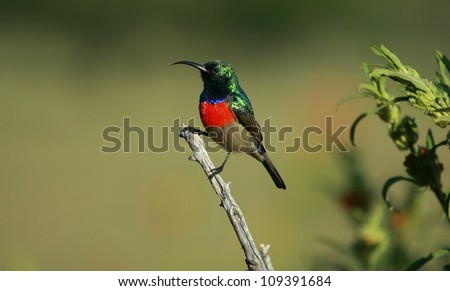 A lovely clear sharp image of a greater double collared sunbird posing on a perch. Showing off its beautiful colours.