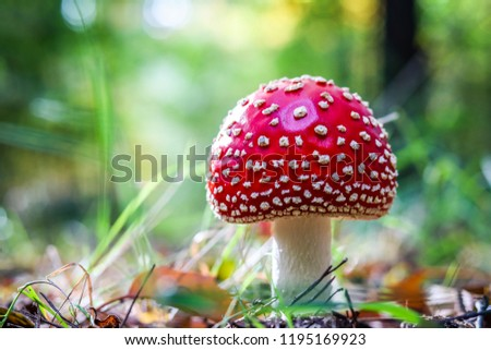 A lovely Close up shot of a beautiful natural perfect red mushroom with white dots (or fly agaric) with a round hat in the forest,  typical for autumn atmosphere. A good bokeh with wonderful light.