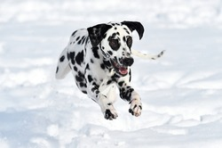 a lovely dalmatian dog running in the snow
