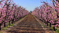 A lovely row of pink blossoming trees in Australia