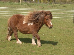 A lovely skewbald miniature Shetland pony walking across a field.