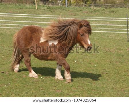 A lovely skewbald miniature Shetland pony walking across a field.