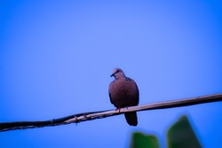 A lovely South Asian spotted dove bird alighted on a wire with blue sky background.