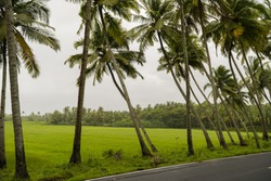 A lovely stretch of slanted and straight palm trees along a village road in Goa, India - captured during the monsoons with grey sky and lush vegetation.