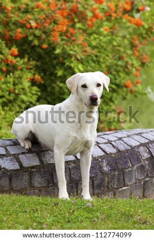 A lovely white labrador female is sitting on a stone wall and watching others.