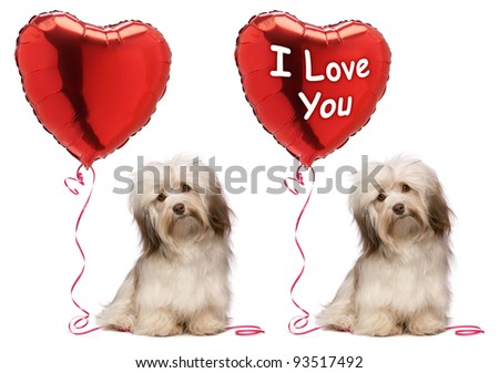 A lover chocolate valentine havanese dog set with a red heart balloon, isolated on white background