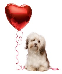 A lover chocolate valentine havanese dog with a red heart balloon isolated on white background