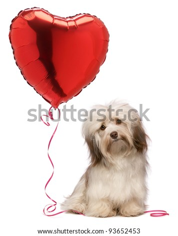 A lover chocolate valentine havanese dog with a red heart balloon, isolated on white background